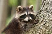 Photo Raccoon portrait