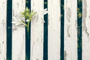 Garden Lily Over White Wooden Fence Background