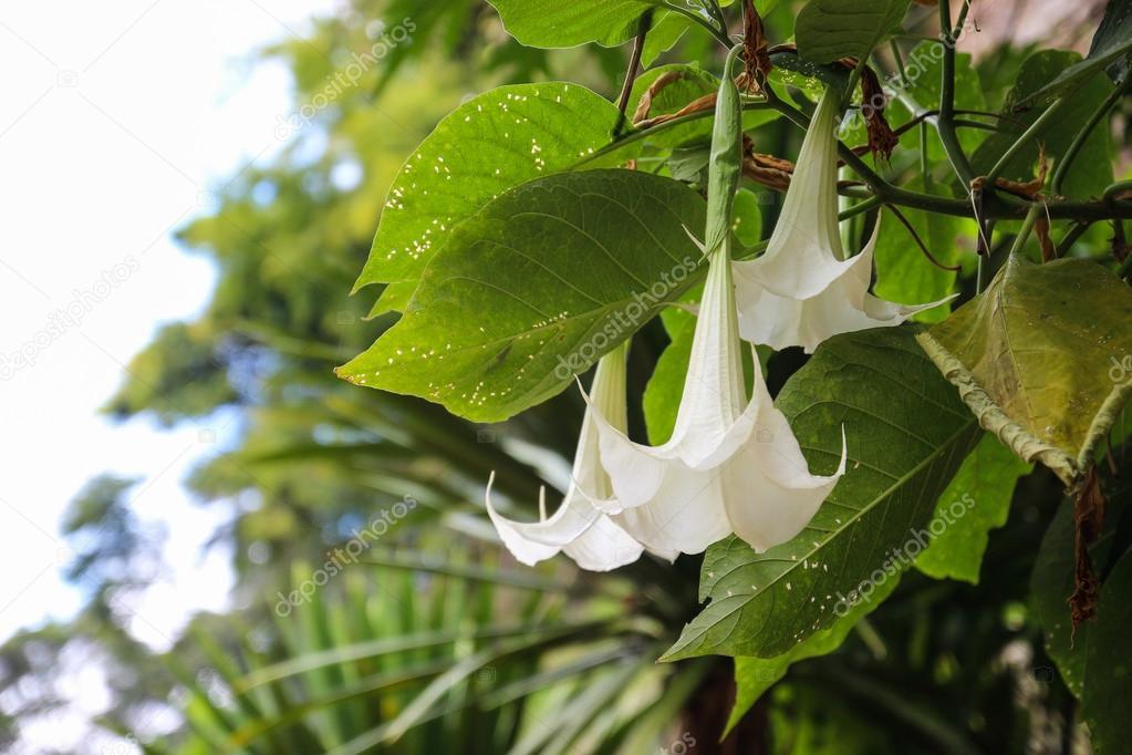 White datura flower stock photo psisaa 71915149 white datura flower stock photo mightylinksfo
