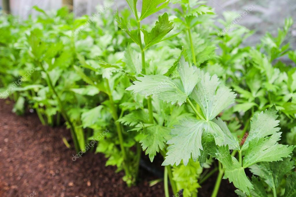 Celery Plant Flower