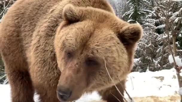 Dospělý medvěd v zasněženém lese. Medvěd hnědý na pozadí zimního lesa. Rehabilitační centrum pro medvědy hnědé. Národní park Synevyr.