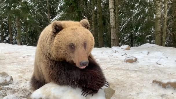 Egy felnőtt medve egy havas erdőben. Barna medve a téli erdő hátterében. Barnamedvék rehabilitációs központja. Szinnevir Nemzeti Park.