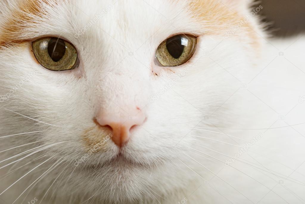 7863427ba7cebc Porträtt av korthårig turkisk Van katten även kallad Anatoli katt —  Stockfoto