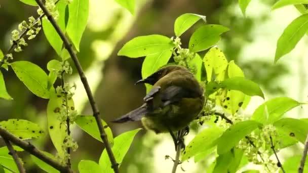 Új-zélandi londíner, más néven Korimako vagy Makomako, endemikus új-zélandi madár.