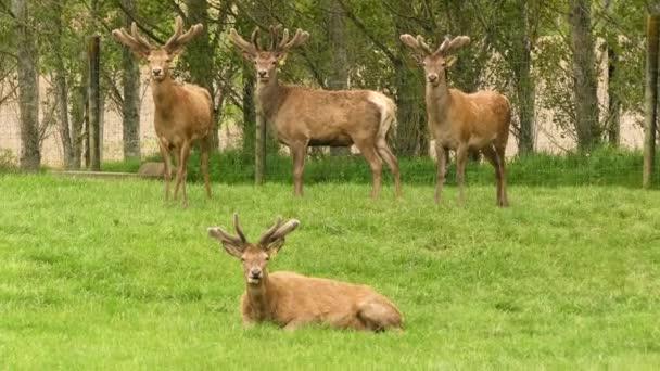 Samci jelenů s obrovskými parohy se zvědavě dívají do kamery.