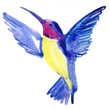 Watercolor sketch of hummingbird