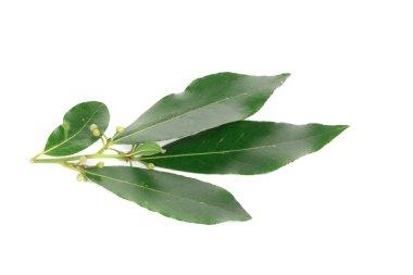 Fresh and green bay leaf