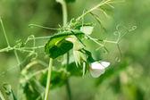 Hrášek rostlina s bílými květy