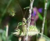 Green grasshopper in the closeup