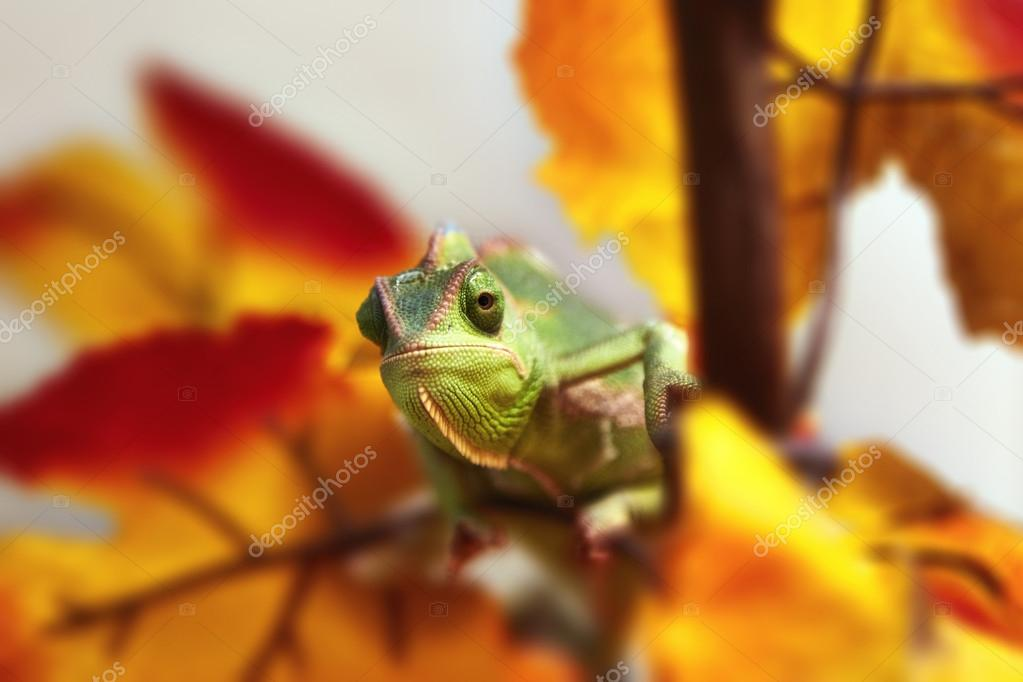 Chameleon in the foliage