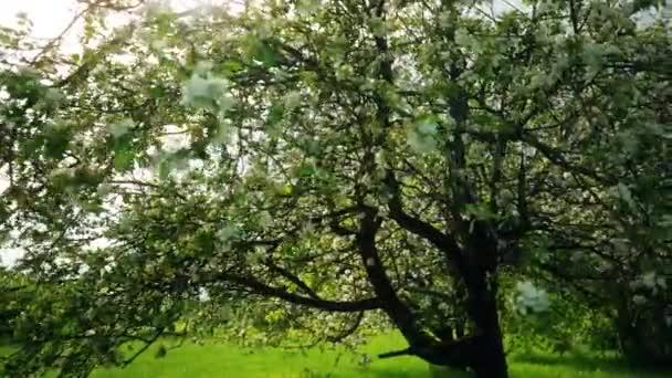 Krásné kvetoucí květiny na sakura stromu v zelené letní zahradě, zpomalené záběry