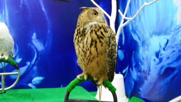 A furry pet European eagle owl bird of prey is standing on a perch and turning calmly with arctic frozen winter background
