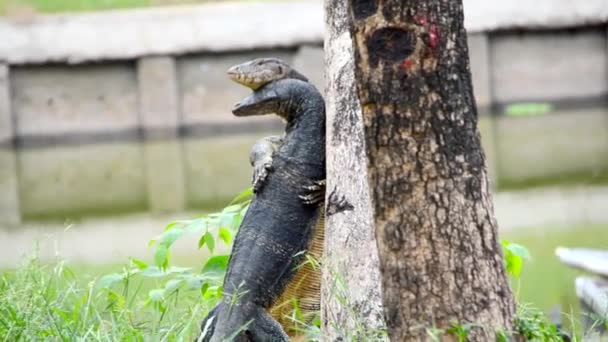 Giant Lizard monitor reptile is mating and hugging like wrestling on two legs beside the tree. Its rare scene of animal wildlife documentary discovery in HD quality.