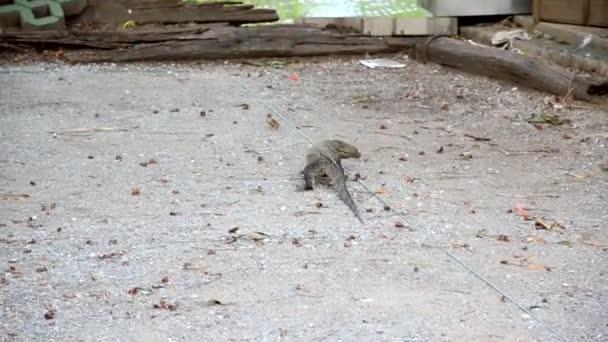 Několika pták útočí obří ještěr monitoru plaz chránit své hnízdo. Vzácné scéna živočišného boje