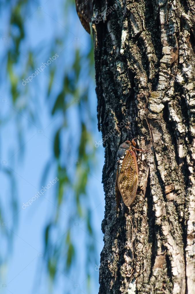 Cicadas bug