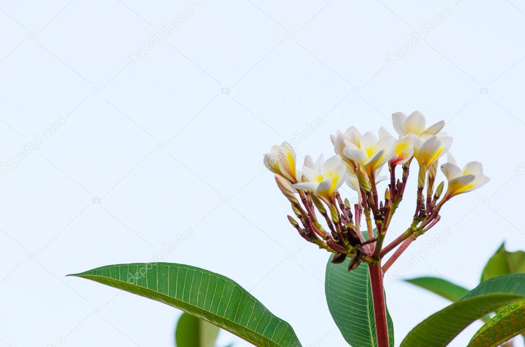 Plumeria white flower