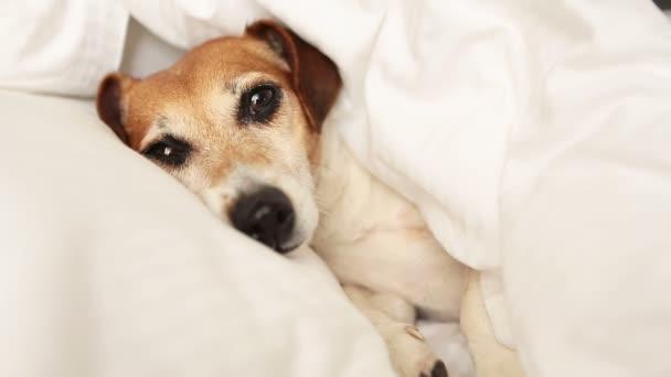 psí tlamy prohlížení zpod deky.