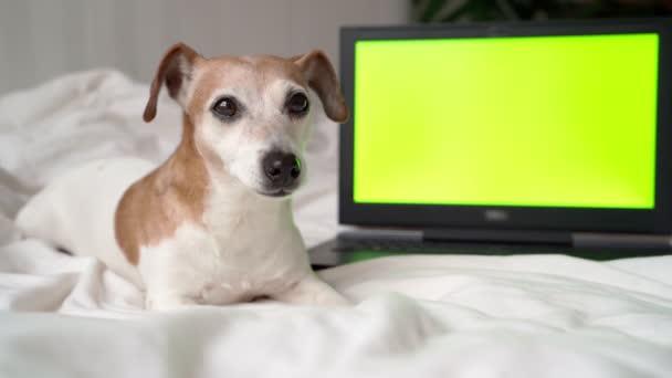Netter Hund, der neben einem Laptop mit grünem Chroma-Schlüsselbildschirm liegt. Sie können mit Ihren Informationen Videomaterial ersetzen. Erholsame Zeit zu Hause mit Haustier. am Ende des Videos langweilt sich der Hund und geht.