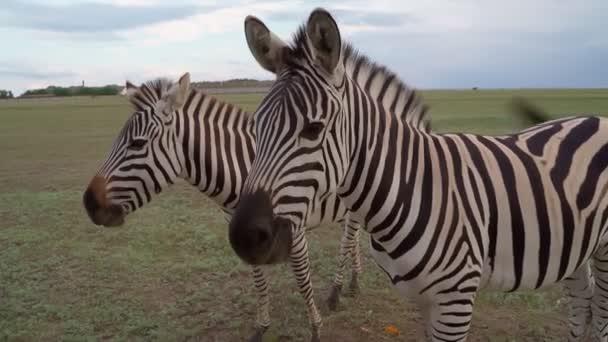 dva zebry nervózně žvýkají jídlo, které jim škubalo kůží a otravovalo hmyzí pakomáry. Obviňujícím pohledem. nespokojeně. Krajina národního parku venku. Video z divoké přírody. Elegantní koňská zvířata