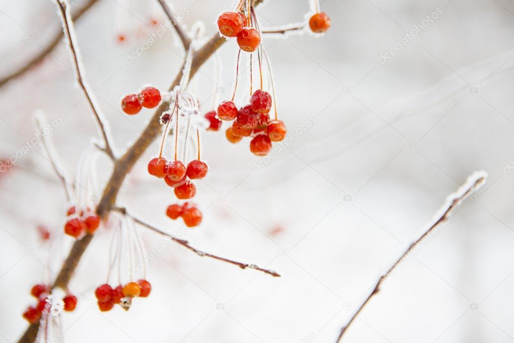 Branch with small frozen berries.