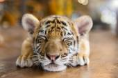A small tiger resting