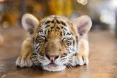 Fotografie A small tiger resting