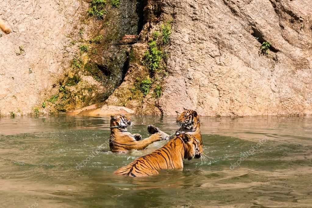 Group of tigers play fighting in the water