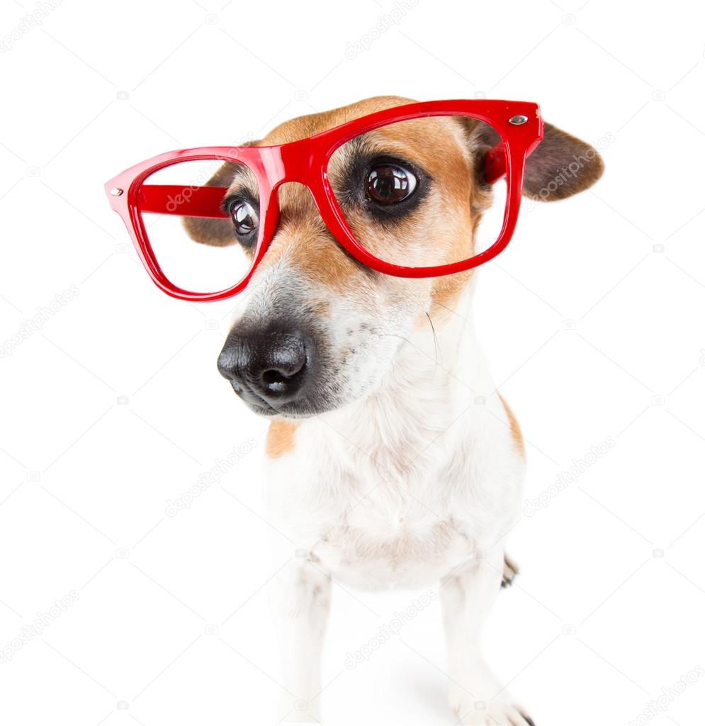 Red glasses dog with a guilty look pressed ears