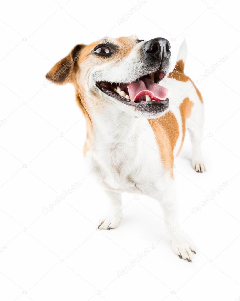 Big smile happy dog