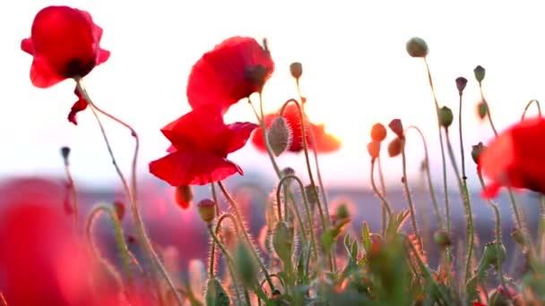 Rote Pflanzen bewegen sich im Wind