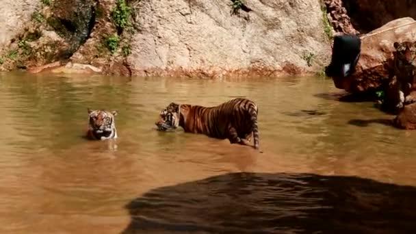 boj proti tigers