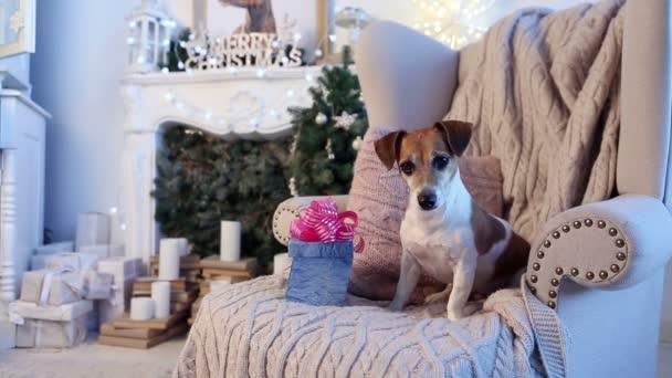 Xmas present box pet Jack Russell terrier