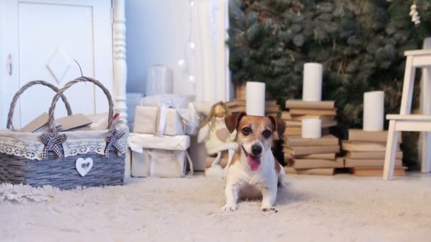 dog cute smile Christmas holiday interior