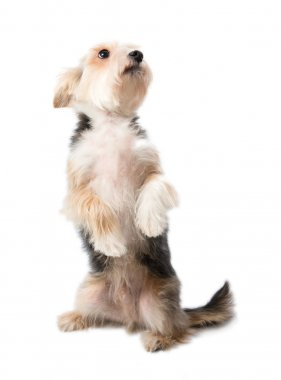 Charming dog sitting on its hind legs