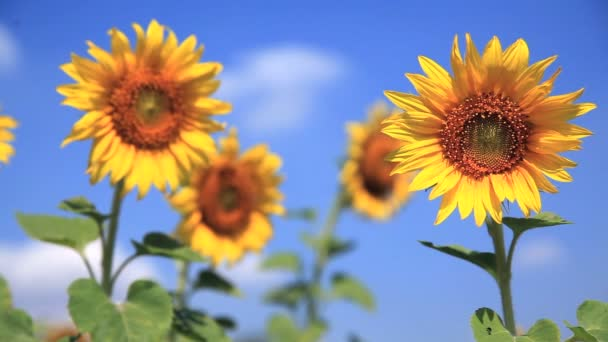 slunečnice s modrou oblohou