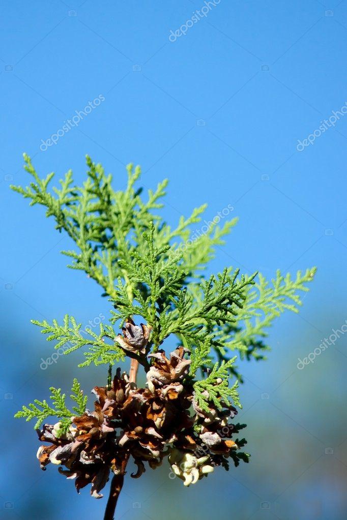 Tuja seed, crop