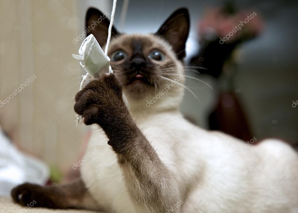 Kot Tajski Jest Tradycyjny Lub Starym Stylu Syjamski Kot Kot