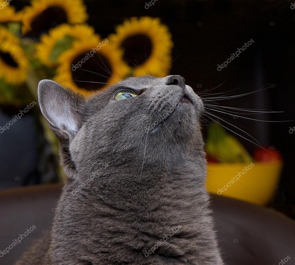Portrait of elegant Russian Blue Cat Russian Blue cat in blur