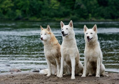 3 three nice huskies sitting near river and looking. Huskies are used in sled dog racing
