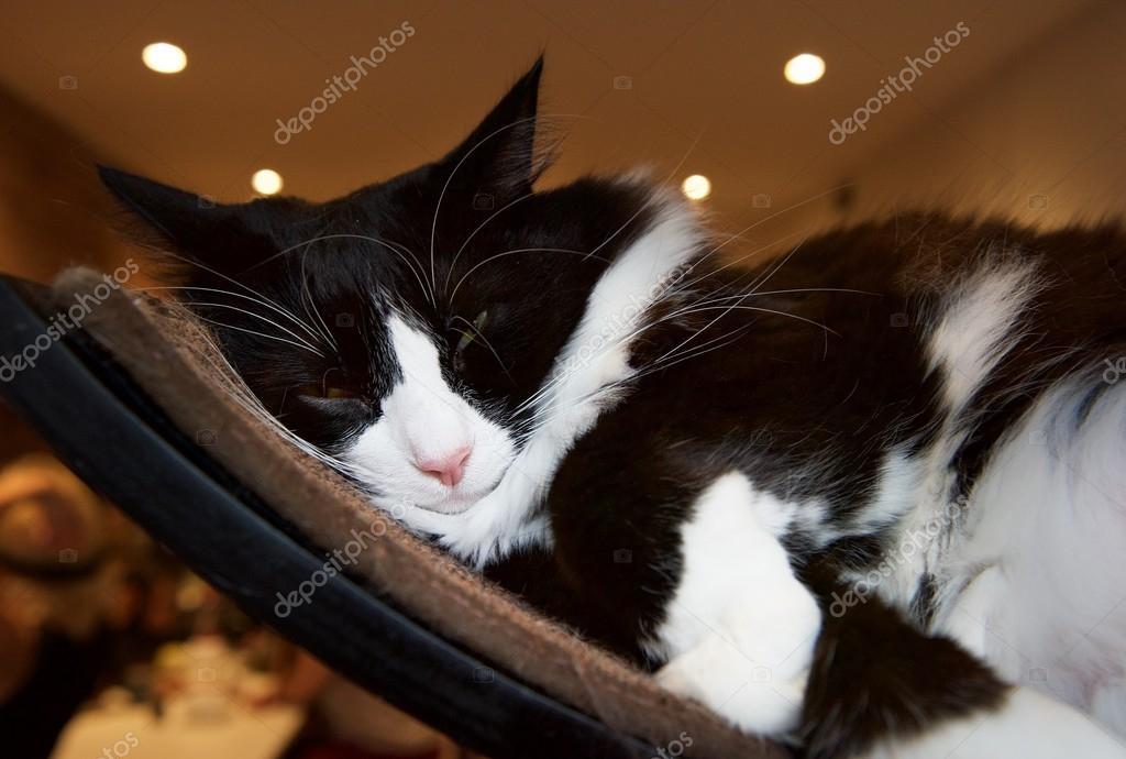 Μεγάλο μαύρο μουνί γάτα