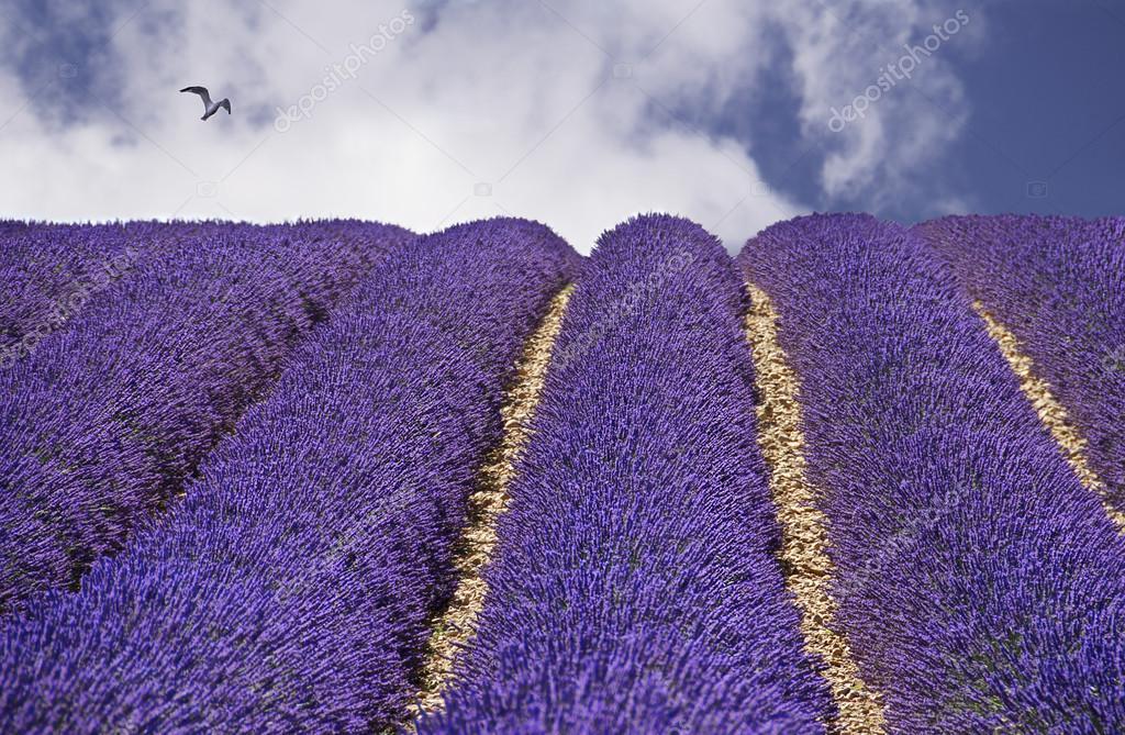 Bien-aimé de lavande, Violet lavande, gros plan, Provence. Sud de la France  KZ65