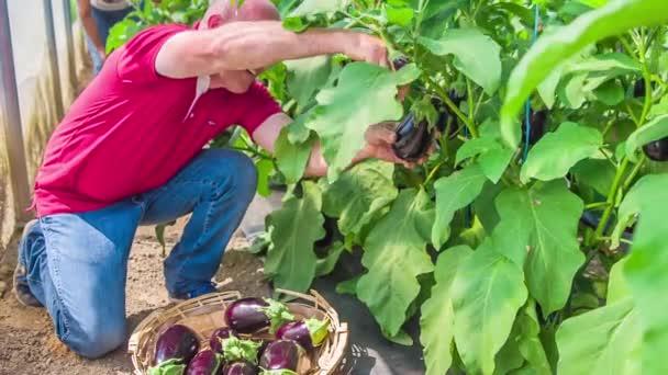 Farmer betakarítás friss zöldségek és padlizsán, tedd őket egy fa kosár, lassított felvétel