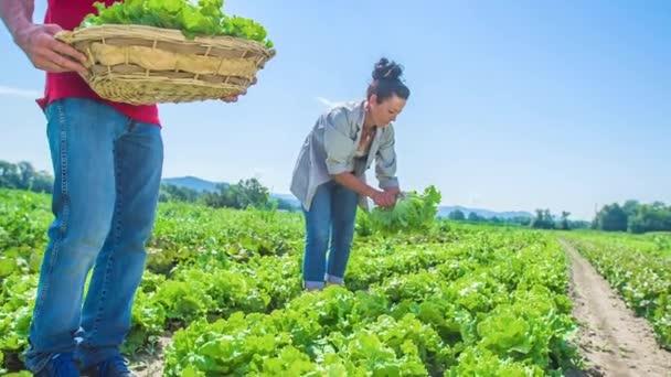 Pár čerstvých salátů ze salátové farmy a jejich sběr v košíku. Zpomalený pohyb.