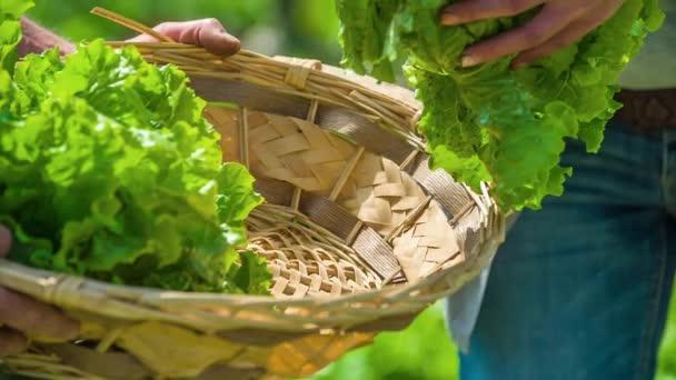 Lidé dávají čerstvé listy salátu do utkaného koše - izolovaný pohled na ruce