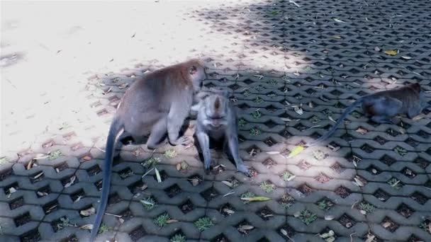 Two monkeys mating