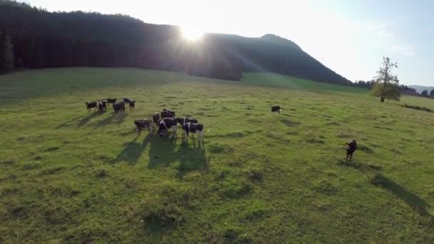 Černé krávy v přírodě