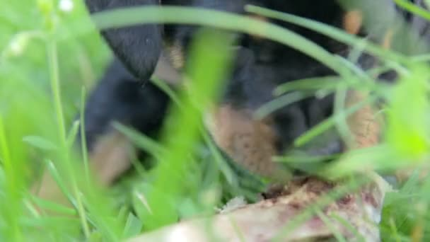 Kleiner Hund Kauknochen größer als ihn