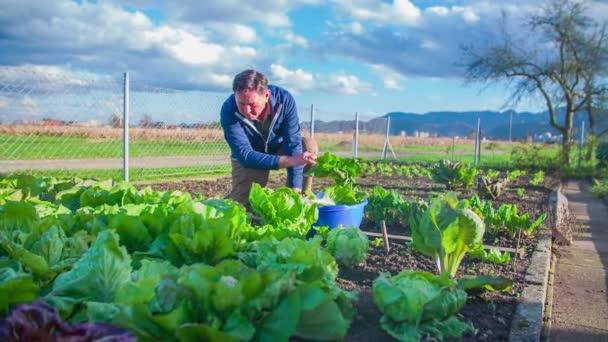 muž zvedne salát z domácí zahrady