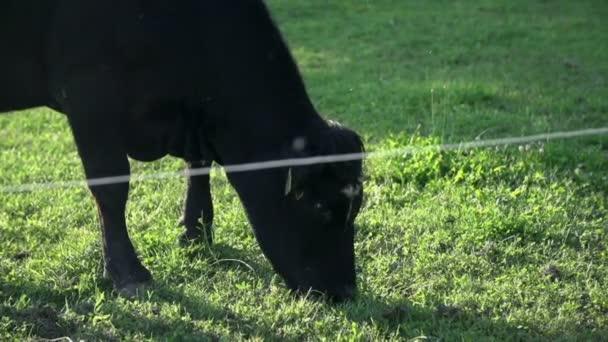 Dangerous black bull