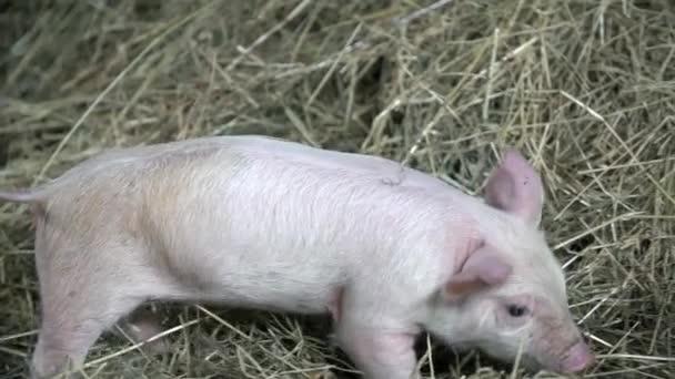 Kleine Schweine auf Stroh